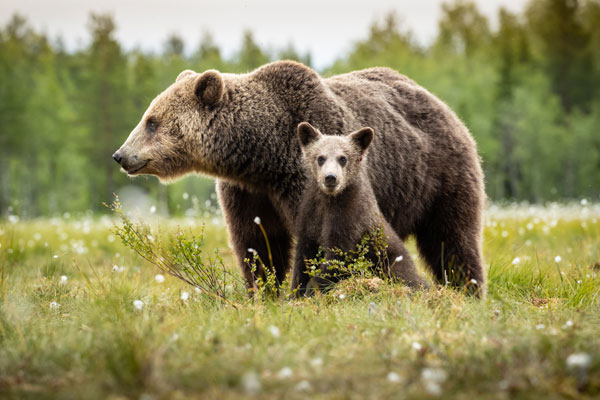 Adventures with Finnish Brown Bears; with David Southard